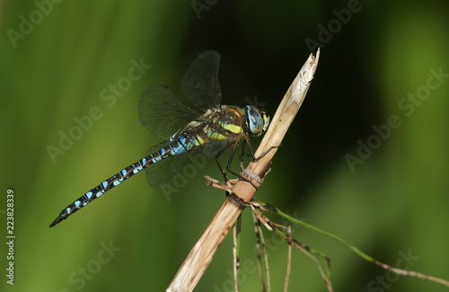 Fotografía A stunning Migrant Hawker Dragonfly (Aeshna mixta) perched on a mares tail plant