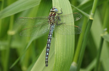 A Stunning Hairy Dragonfly (Br...