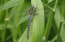 A Stunning Hairy Dragonfly (Brachytron Pratense) Resting On A Reed.