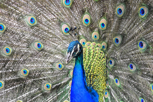 Fotobehang Pauw A peacock displaying its feathers