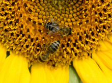 Sonnenblume, Helianthus, Annuu...