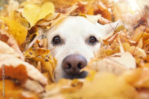 Tuinposter Hond Hund schaut aus gelben Blättern heraus