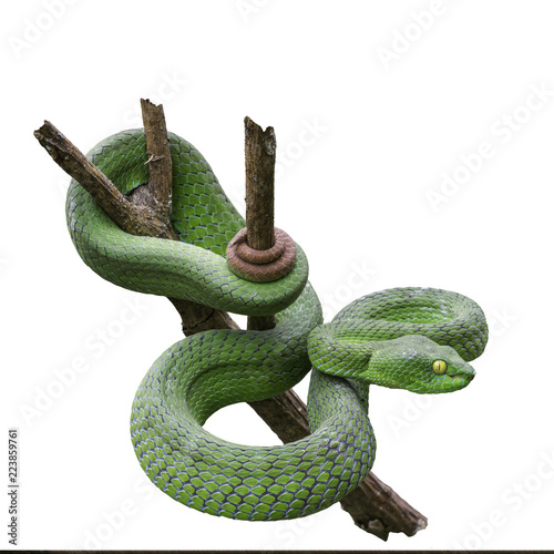 Large-eyed Green Pitviper or Green pit vipers or Asian pit vipers, green snake on branch with white background in Thailand and clipping path Wallpaper Mural