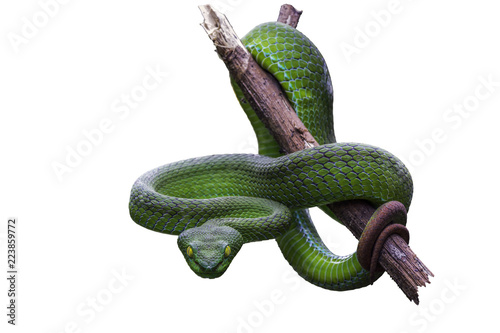 Fotomural  Large-eyed Green Pitviper or Green pit vipers or Asian pit vipers, green snake on branch with white background in Thailand and clipping path