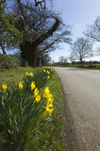 Daffodils By Side Of Road