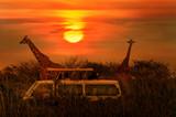 Fototapeta Sawanna - Wild Giraffes in the savanna