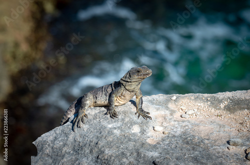 Fotografie, Obraz  Iguana on the rocks. Isla Mujeres, Mexico