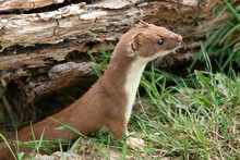 A Closeup Of A Stoat Weasel Co...