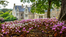 Carpet Of Pink And White Cyclamen Flowers On Woodland Floor With Out Of Focus English Manor House In Background