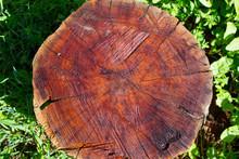 Wet Mahogany Stump
