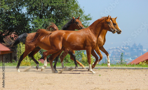 Fototapeta Young stallions of purebred Arabian breed run together against the background of the city obraz