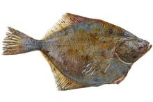 Fresh Raw Flatfish Isolated On...