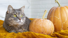 A Gray Cat With Yellow Eyes Sits Next To The Autumn Pumpkins On A Plaid In The Bright Interior Of The Room. Autumn Home Concept