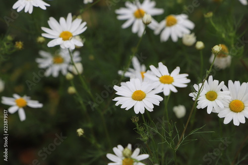 Foto op Canvas Madeliefjes Chamomile field of flowers. Alternative medicine, Spring Daisies Flower. Nature scene with blooming medical wild chamomile. Natural blurry background.