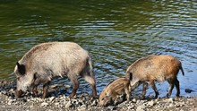 Wild Boar With Youngsters. Ani...