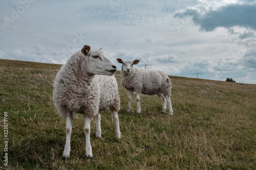 Sheep on Dutch dike