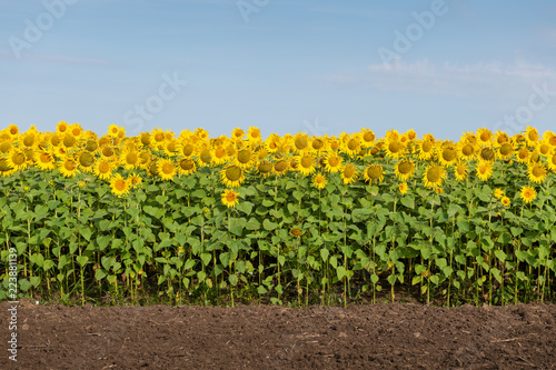 Fotobehang Cultuur Edge of Sunflowers Field