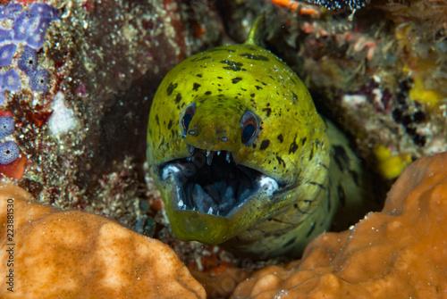 Fotografering  Fimbriated Moray Gymnothorax fimbriatus