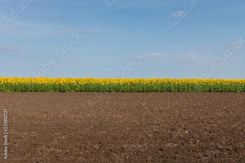 Edge of Sunflowers Field