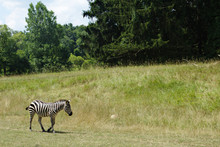 Zebra Walking Through A Grassy Field With Pine Trees In The Background