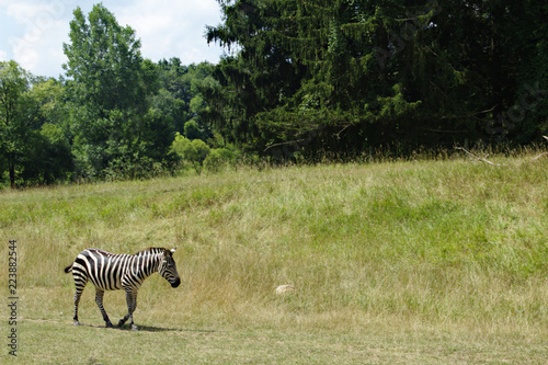 In de dag Zebra Zebra Walking Through a Grassy Field With Pine Trees in the Background