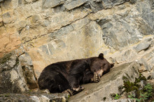 A Brown Bear (Ursus Arctos) Lying Down On A Rock Resting Or Sleeping In A Park In The Belgian Ardennes
