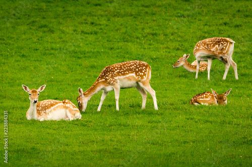 Fototapeta Young fallow deer calves (cervus dama / dama dama) in a green meadow in summer obraz