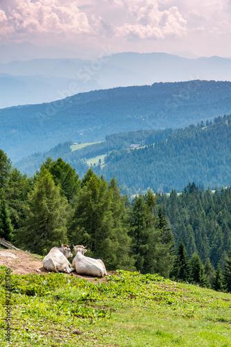 Photo sur Aluminium Kaki Zwei Kühe genießen die Fernsicht auf Wald und Wiese