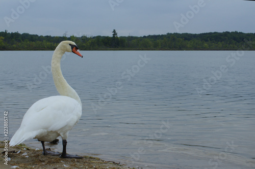 Staande foto Zwaan Lone White Mute Swan Standing on a Dingy Beach with Forest Across Water Looking Curious