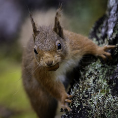 Naklejka na ściany i meble The Iconic Scottish Red Squirrel captured in Wester Ross