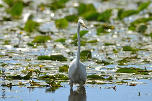 Fotografía  Grande Aigrette (Ardea alba)