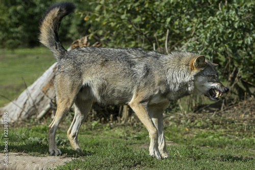 Canvas Prints Nature Grommende Europese wolf