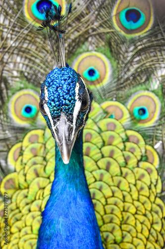 Foto op Aluminium Pauw peacock's closeup