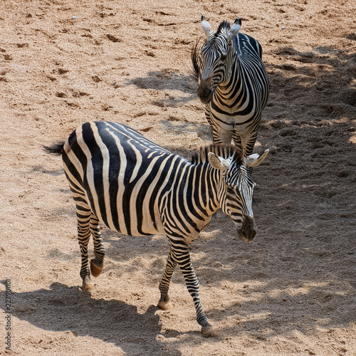 In de dag Zebra Two of Grant Zebra (species: Equus burchelli boehmi) in a some shadow on African savanna