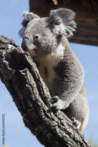 Staande foto Koala Koala bear on a tree