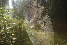 Cobweb With Cross Spider On Gr...