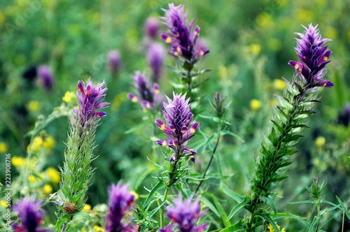 A wild flower and a herb astragalus in the field close-up. Canvas Print