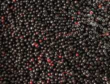 Closeup Shot Of Sambucus Nigra Or Elderberry Berries Harvested During Summer.