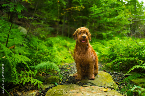 Fotografie, Obraz  Wet Golden doodle dog sitting in forest