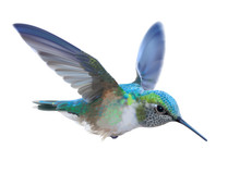 Hummingbird - Calypte  Anna. Hand Drawn Vector Illustration Of A Flying Anna's Hummingbird With Colorful Glossy Plumage On Transparent Background.