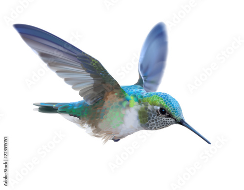 Photo Hummingbird - Calypte  anna