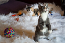 Grey And White Kitten Plays An...