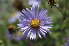 A Purple Aster Blooms In A Fie...