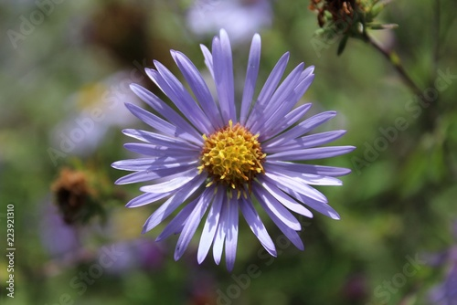 A Purple Aster blooms in a field in early fall Wallpaper Mural