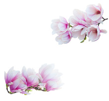 Magnolia Blooming Flowers Branch Isolated On White Background