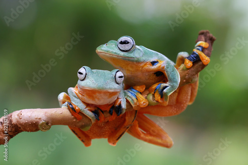 Flying frog on branch, tree frog, Javan tree frog