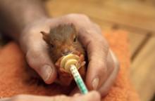 Feeds Milk To Squirrel