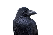 Portrait Of Common Raven (Corv...