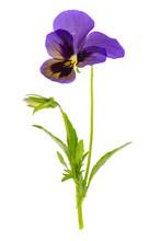 Viola Tricolor Var. Hortensis On White Background