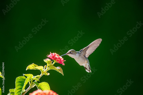 Fotografie, Obraz  Hummingbird in nature